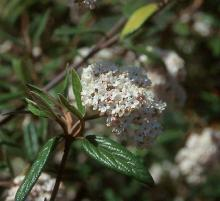 flower cluster and expanding leaves