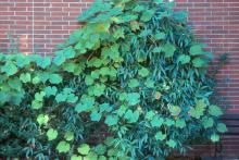 plant habit, growing over Evergreen Clematis