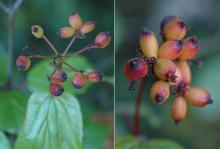 immature fruit, August