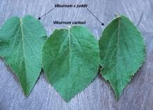 leaves, comparison</i>