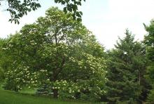plant habit, flowering tree