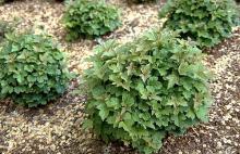 plant habit, young plants