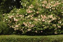 plant habit, senescing flowers