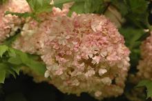 senescing flower cluster
