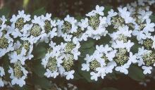 flower clusters