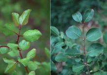leafy shoots, spring and summer