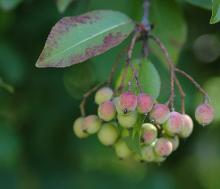 fruit cluster