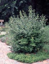 plant habit, pruned, summer