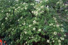 plant habit, start of flowering