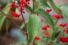 leaves and fruit, early fall