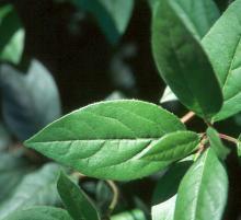 leaf (3)