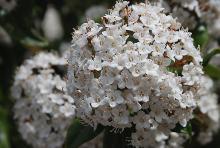 flower cluster, mature