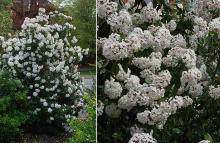 plant habit and flower clusters