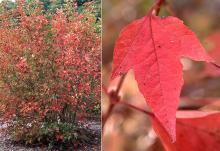 plant habit and leaf, fall
