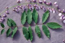 leaf and flower cluster