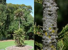 plant habit, trunk, bark