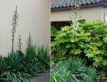plant habit, early flowering