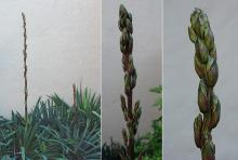 developing flower spike