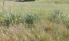 plant habit, late summer in native habitat (Kansas )
