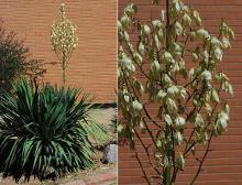 plant habit, flowering, and flower cluster