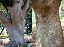 older tree trunk, bark